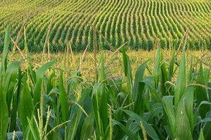 cornfield-3